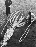 Giant_squid_Ranheim