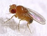 mwedrosophilamelanogaster00001