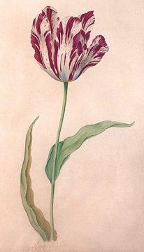Il Semper Augustus, il tulipano venduto al prezzo più alto di sempre.