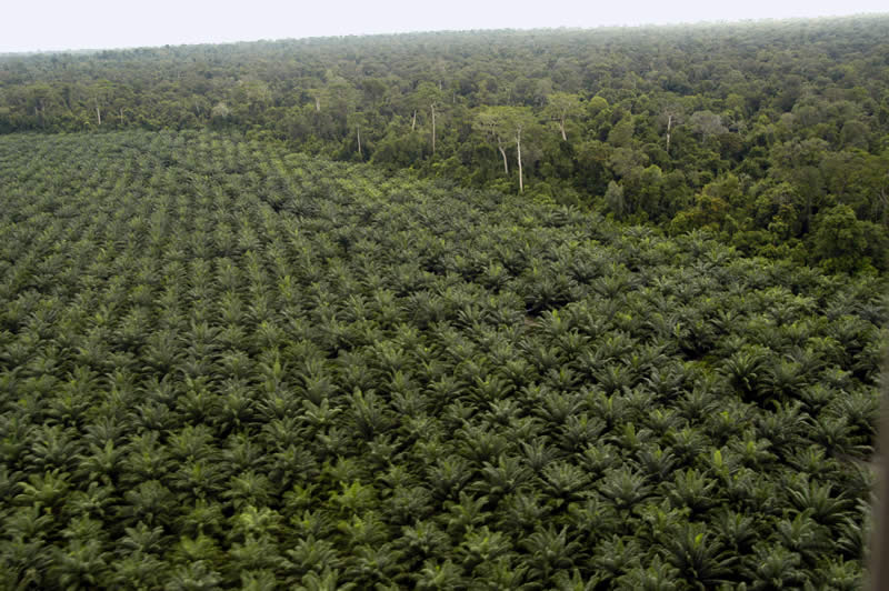 Una piantagione di palma da olio in Indonesia.
